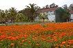 キンセンカの花畑